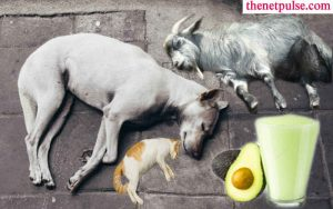 Dead Dog, Cat and Goat